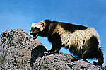250pxwolverine_on_rock